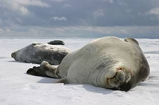 Weddell seals in the Drescher Inlet