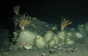 Rossella cf. villosa is the most common hexactinellid sponge in the Larsen area. Although the Antarctic representatives of this archaic group of animals were thought to grow very slow and reach very old age, we found a tripling in abundance and a doubling in biomass between 2007 and 2011.
