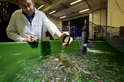 AWI-Biologe Mirko Bögner füttert im Zentrum für Aquakulturforschung Wolfsbarsche. 
