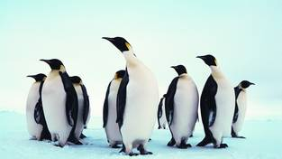 Emperor penguins on the sea ice of the Weddell Sea