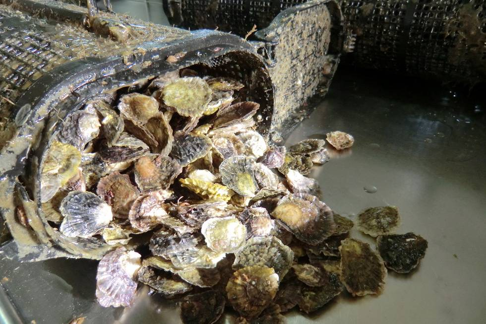 Oysters in oyster baskets after second sampling: significant increase of size, September 2017.