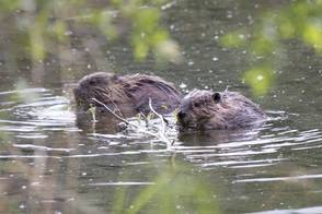 Beavers gnawing away at the permafrost