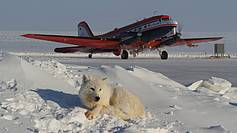 In Alert (Canada) an arctic Wolf is resting next to the AWI research aircraft Polar 5, which is carrying the EM-Bird to measure the sea-ice thickness in its annual spring campaign.