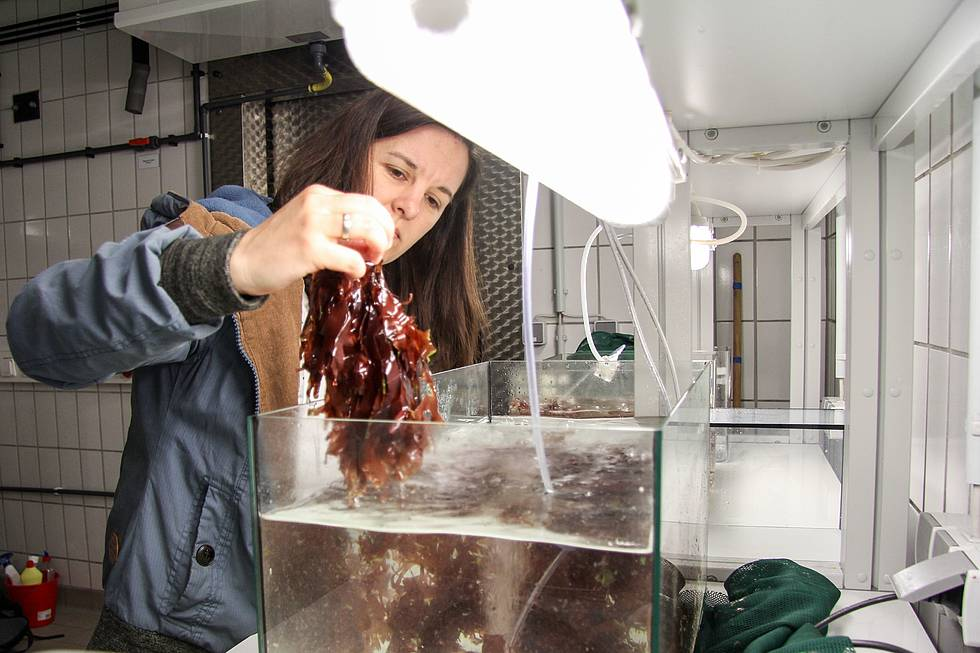 AWI biologist Dr Britta Grote is cleaning tanks with red algae Palmaria palmata. The scientist is working on different projects of integrated multi-trophic aquaculture systems.