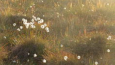 Cottongrass (eriophorum)