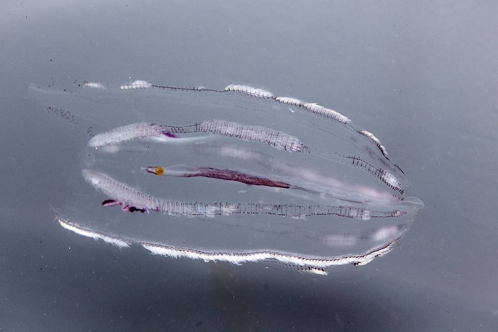 Comb-Jellyfish (Callianira antarctica), photo taken in the aquarium on board the research vessel Polarstern.