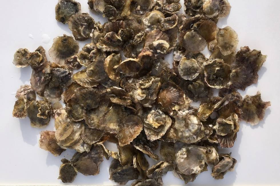 Oysters of the first sampling: significant increase of size, August 2017.