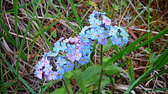 Forget-me-not (myosotis palustris)