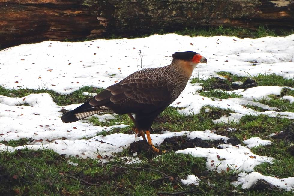 A southern crested caracara (thanks Maik for finding out)