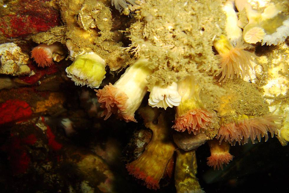 Bank of Desmophyllum dianthus on an overhang at ca. 20 m water depth. Lilihuapi, Comau Fjord, North Patagonia, Chile