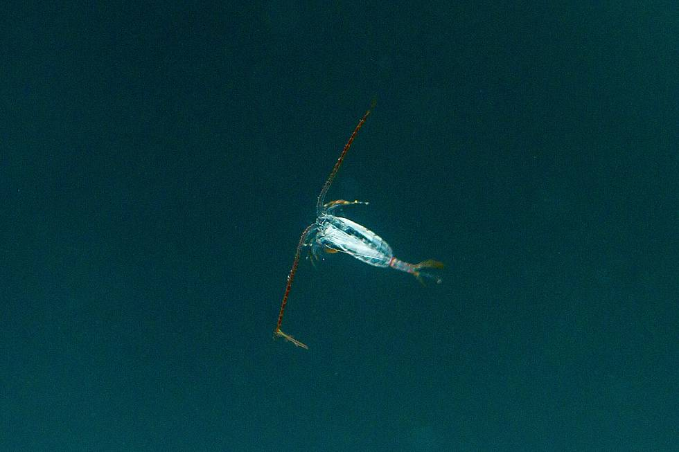 Antarctic copepod, photo taken in the aquarium on board the research vessel Polarstern.