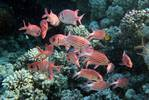 Pinecone soldierfish in the Red Sea.