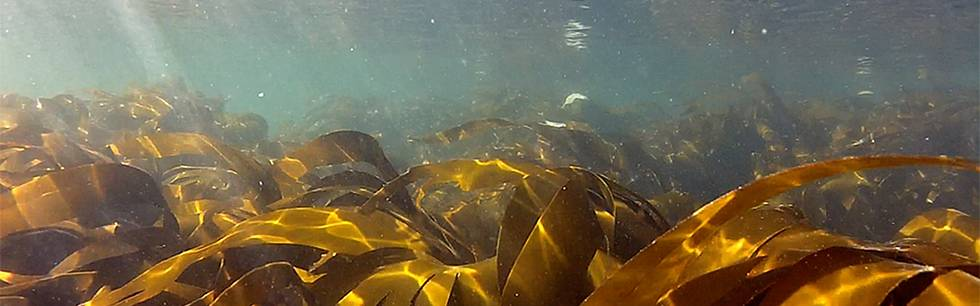 Kelp forest at Helgoland