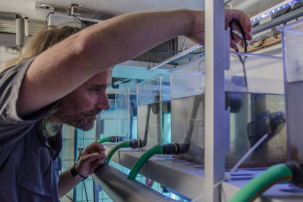 AWI biologist Mathias Wegner is fishing for sticklebacks in one of his aquariums.