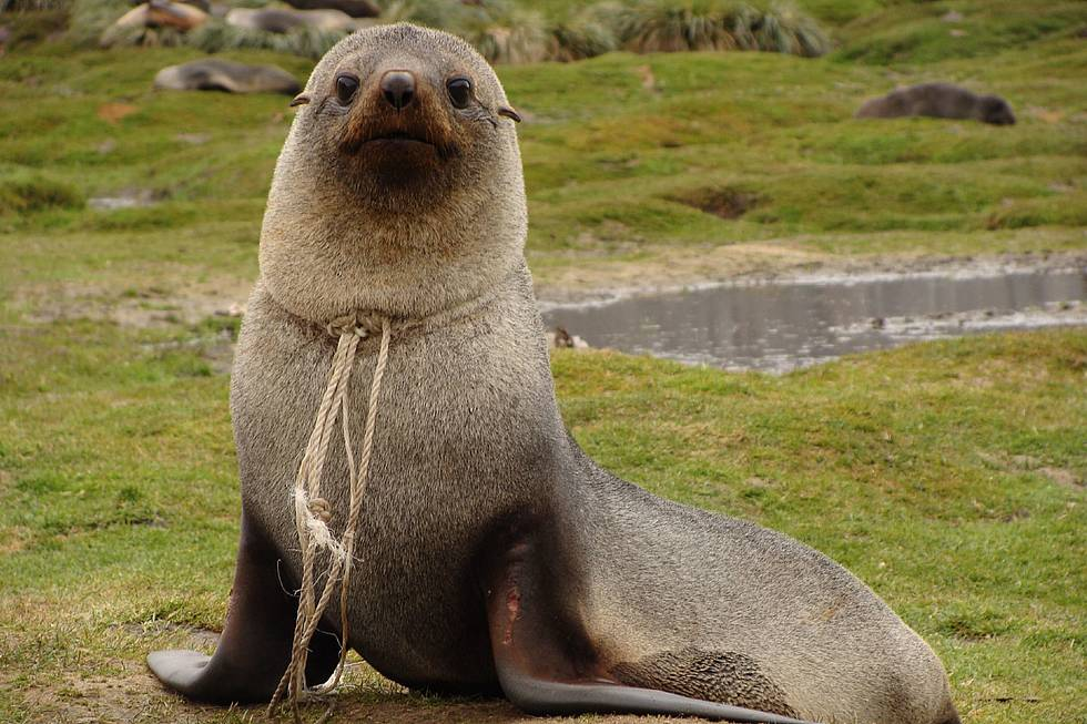 South Georgia, 2010, Leith Harbour: A Southern fur seal with a rope around its neck.