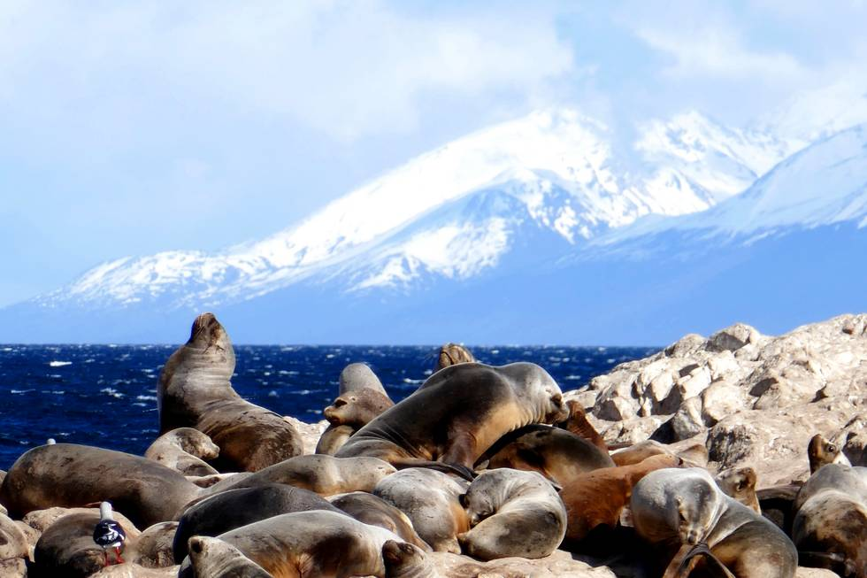 Sea lions in Beagle Channel