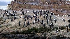 A colony of cormorants on an island in Beagle Channel