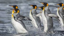 King penguins live at the margin of the Antarctic,