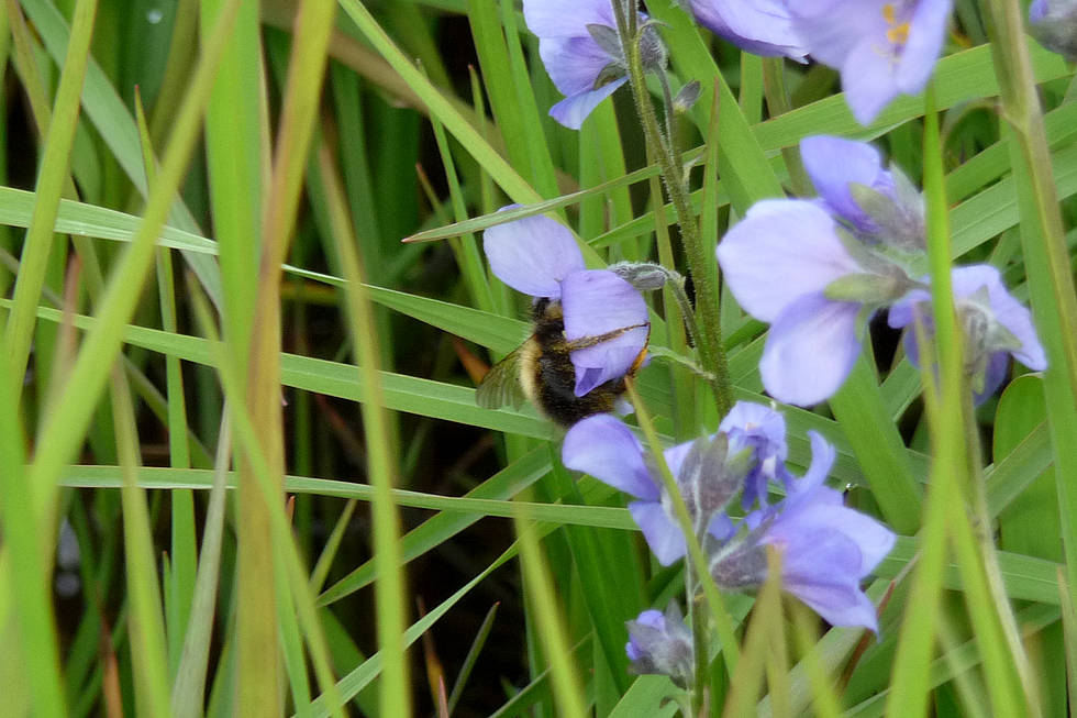 Jacob's-ladder with bumblebee