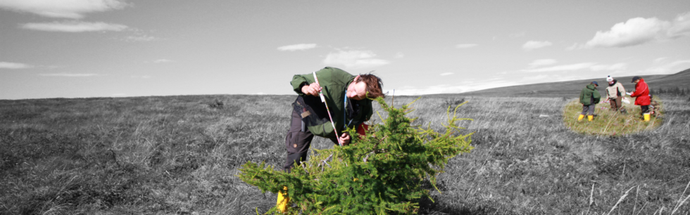Stefan Kruse is analysing a krummholz form of Larix cajanderi while others (Ulrike Herzschuh, Ellen Schnabel and Daronja Trense) analysing the vegetation