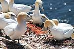 Northern gannet (Morus bassanus) are using old fishing nets as nesting material in their nesting colony at the island Helgoland (North Sea / Germany).