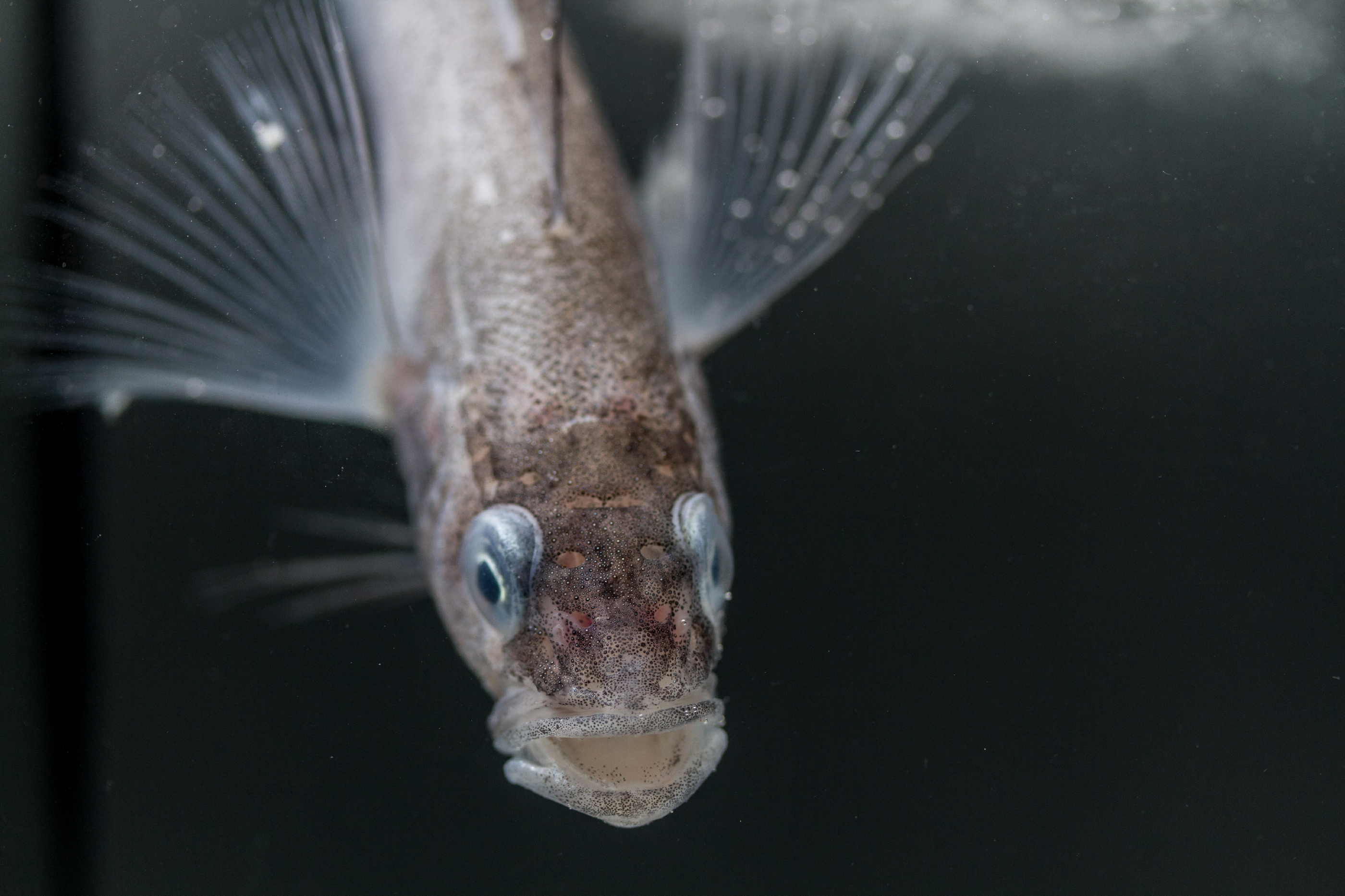 Longfin icedevil (Aethotaxis mitopteryx), photo taken in the aquarium on board the research vessel Polarstern.